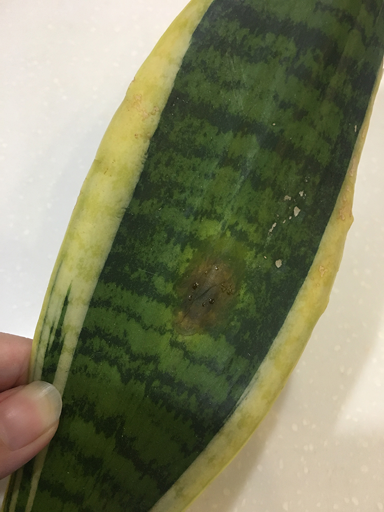 fungal spot on snake plant oozing