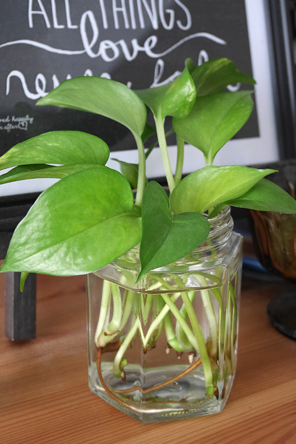 propagating pothos in water